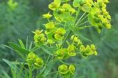 Leafy Spurge in Montana Weed Spraying B