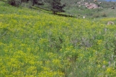 Leafy Spurge in Montana Weed Spraying