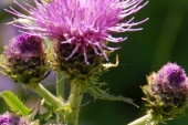 Canada Thistle Flower in Montana Weed Spraying