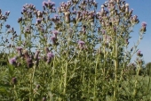 Canada Thistle in Montana Weed Spraying