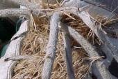 Cheatgrass in Montana Weed Spraying