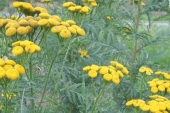 Common Tansy in Montana Weed Spraying B