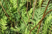 Common Tansy in Montana Weed Spraying C