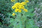 Common Tansy in Montana Weed Spraying