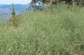 Diffuse Knapweed in Montana Weed Spraying