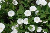 Field Bindweed Flower in Montana Weed Spraying