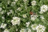 Hoary Alyssum in Montana Weed Spraying B