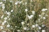 Hoary Alyssum in Montana Weed Spraying