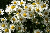Oxeye Daisy Flower in Montana Weed Spraying B
