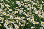 Oxeye Daisy Flower in Montana Weed Spraying C
