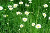 Oxeye Daisy Flower in Montana Weed Spraying