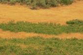 Russian Knapweed in Montana Weed Spraying B