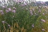 Spotted Knapweed in Montana Weed Spraying B