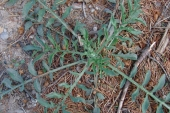 Spotted Knapweed in Montana Weed Spraying C