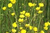 Tall Buttercup in Montana Weed Spraying B