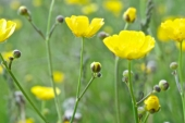 Tall Buttercup in Montana Weed Spraying