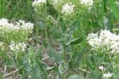 Whitetop Flower in Montana Weed Spraying