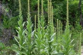 Common Mullein in Montana Weed Spraying