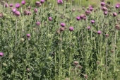Musk Thistle in Montana Weed Spraying C