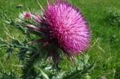 Musk Thistle in Montana Weed Spraying