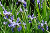 Wild Iris in Montana Weed Spraying B