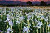 Wild Iris in Montana Weed Spraying C