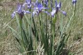 Wild Iris in Montana Weed Spraying