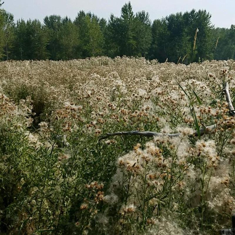 Canada Thistle Weed Spraying | Terra Nova, LLC | Dillon, MT