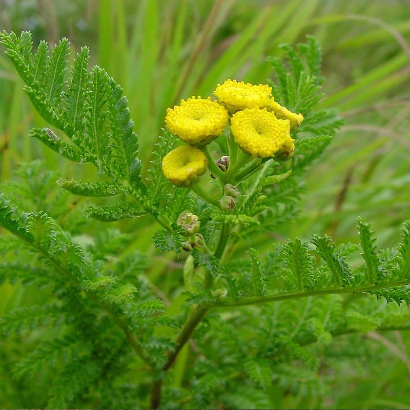Common Tansy Weed Spraying | Terra Nova, LLC | Dillon, MT