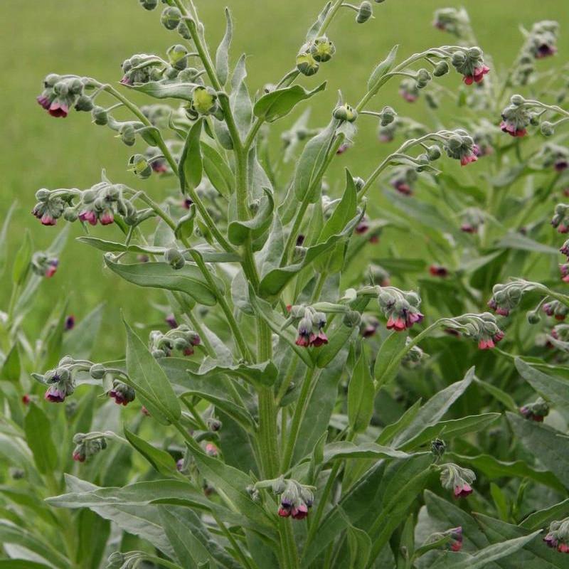 Houndstongue Weed Spraying | Terra Nova, LLC | Dillon, MT