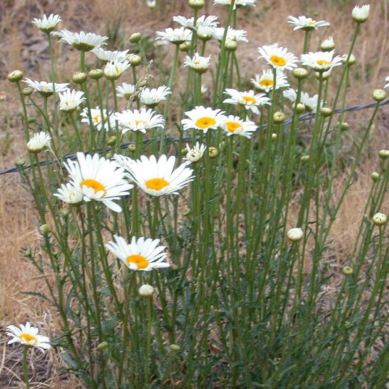 Oxeye Daisy Weed Spraying | Terra Nova, LLC | Dillon, MT