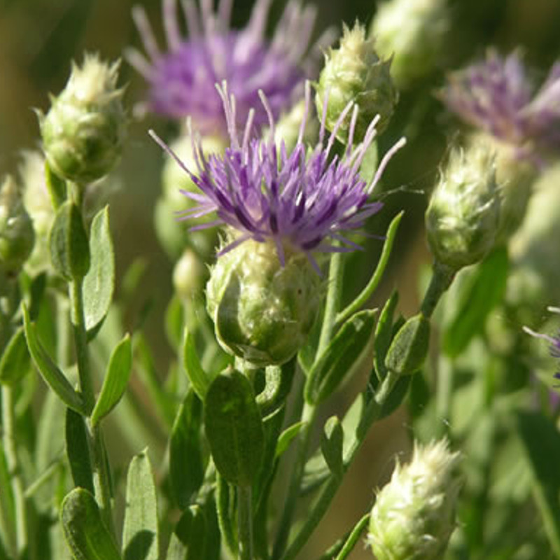 Russian Knapweed Weed | Terra Nova, LLC | Dillon, MT Spraying