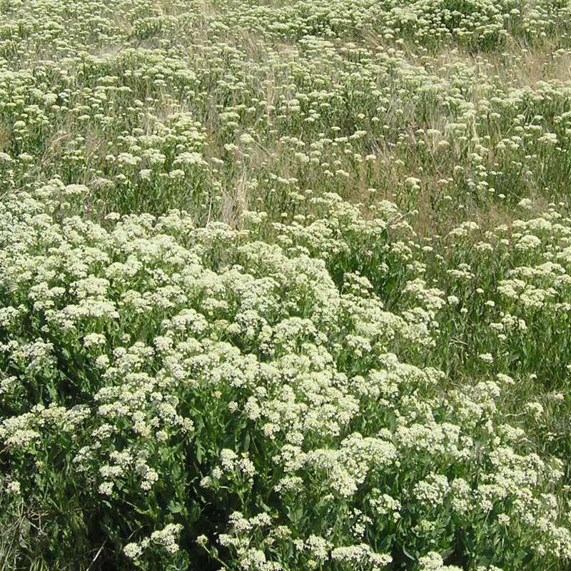 Whitetop Weed Spraying | Terra Nova, LLC | Dillon, MT